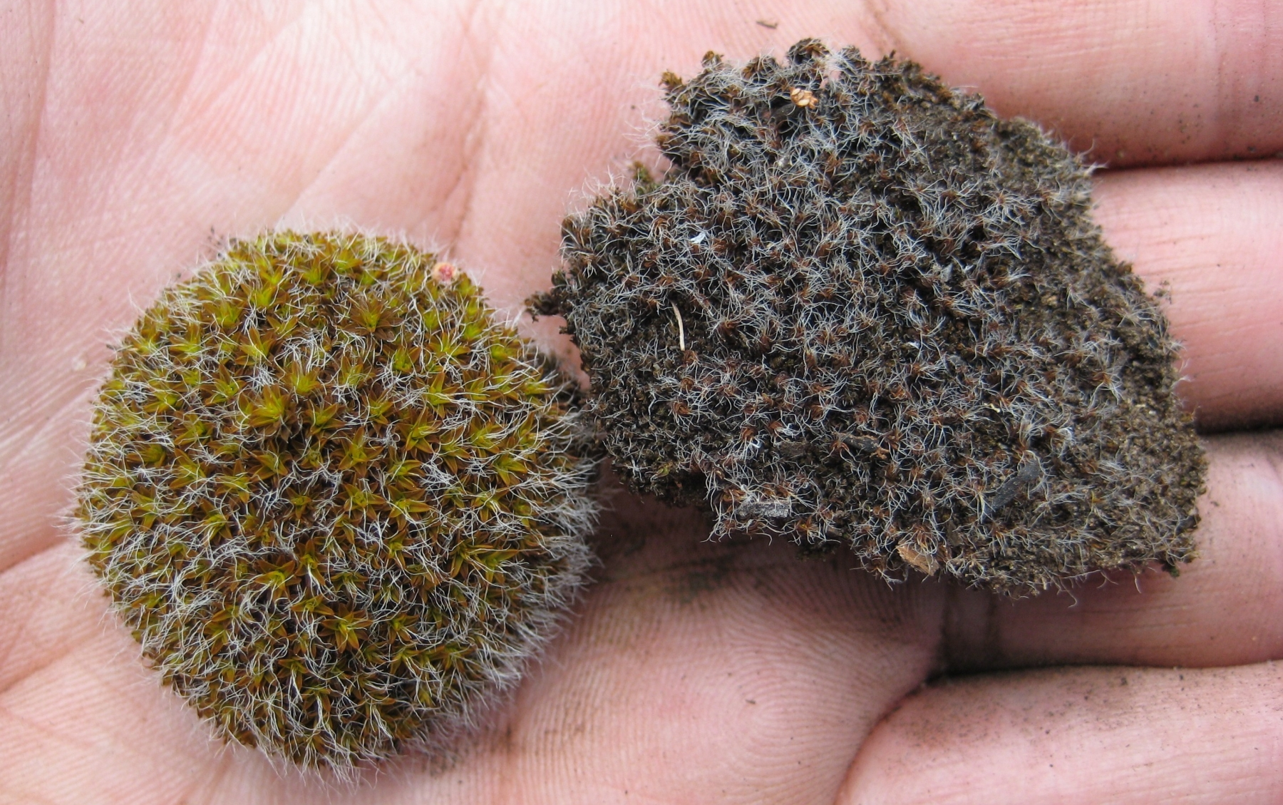 Syntrichia ruralis wet (left) and dry (right)